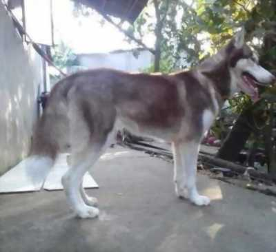 Bán chó Husky cái mười hai tháng hoặc gl