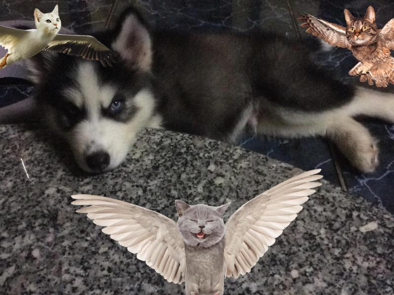 Bé Husky 3 tháng tuổi cần bán lại cho người yêu chó