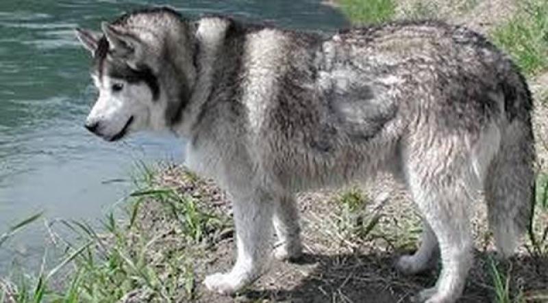 Cần bán chó Husky Thuần Chủng body chuẩn