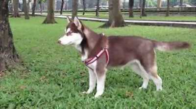 Cần bán chó husky màu phấn hồng cần tìm chủ yêu thương