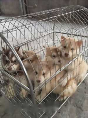 Bán chó Husky phấn hồng