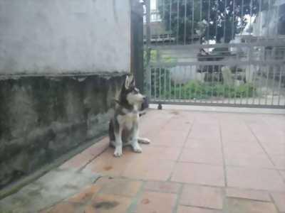 Bán chó Husky 3. năm tháng tuổi