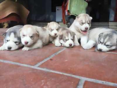 Cần bán Husky thuần chủng