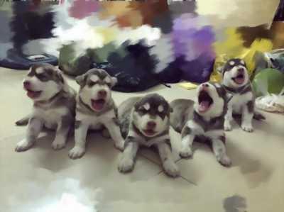 Bán đàn chó Husky