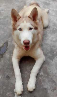 Cần bán Husky 3 tuổi đang bị viêm da