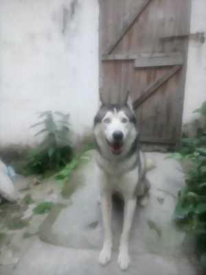 Bán chó Husky đực xám