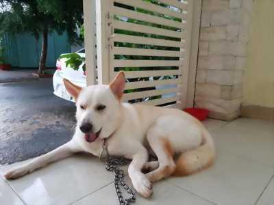 Chó lai Husky 8 tháng tuổi