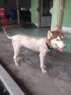 Chó Husky nâu đỏ (Cái) tám tháng tuổi