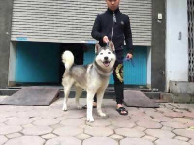 Bán chó Husky đực 15 tháng