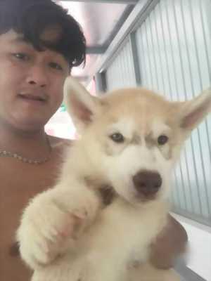Bán chó Husky hồng phấn