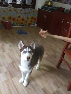 Bán Husky 4 tháng tuổi