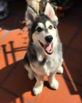 Cần tìm ba mẹ cho bé husky đực