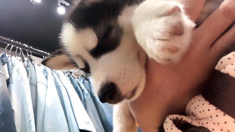Cần bán bé husky 2 tháng tuổi