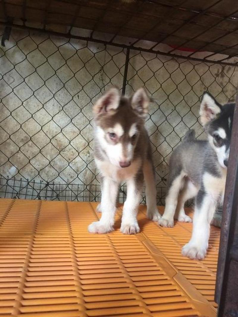 Cần bán nhanh bé husky 2.5 tháng tuổi siêu dễ thương