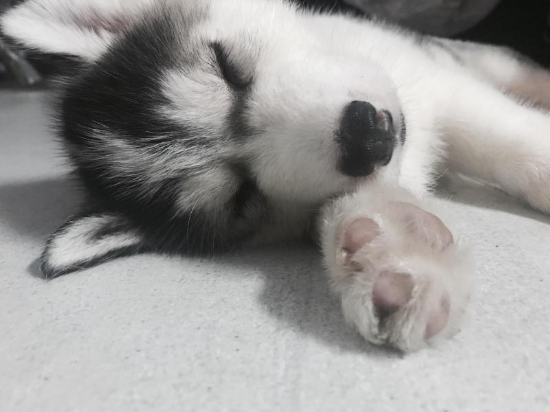 Tìm chủ cho hai bé husky thuần chủng 2 tháng tuổi