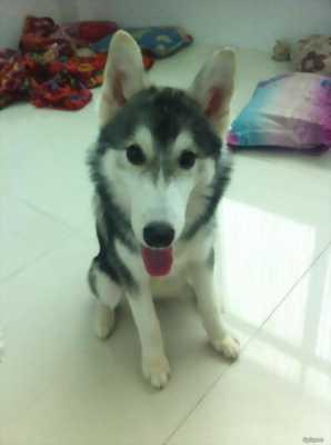 Husky ngáo màu đen trắng đang thay lông