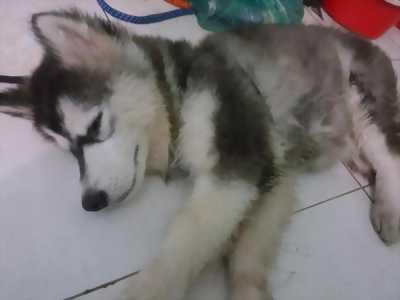 husky cái màu đen trắng