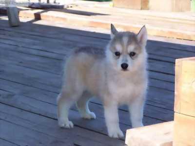 husky 2 tháng tuổi màu vàng chanh mắt hổ phách