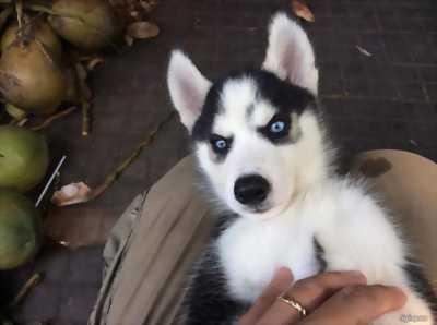 Đàn husky 2 tháng.