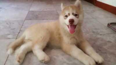 Bán chó HUSKY 2 tháng tuổi. Gia Phả đẹp