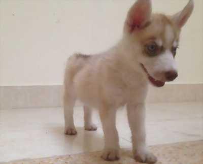 Husky phấn hồng 2 tháng tuổi