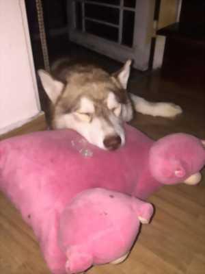 Husky đực 8 tháng