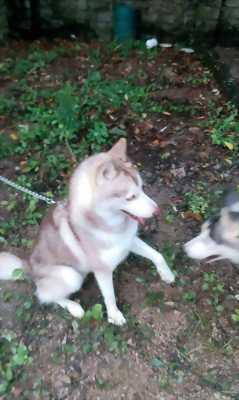 Bán chó Husky phấn hồng 16 tháng