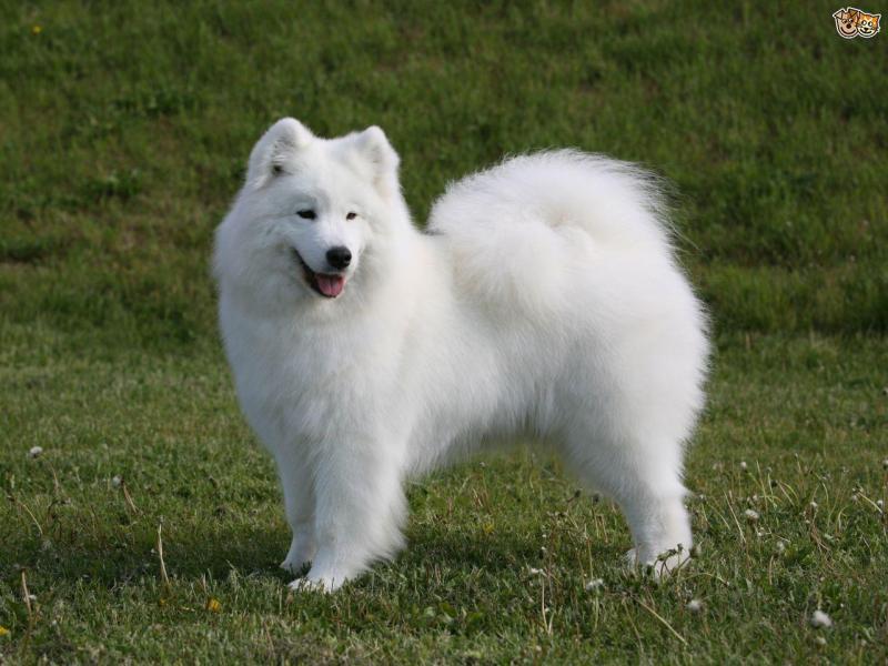 Chó rott thuần chủng 11 tháng tuổi