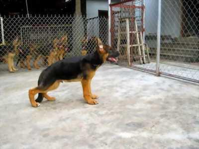 Chó Phú Quốc cái vàng,đen