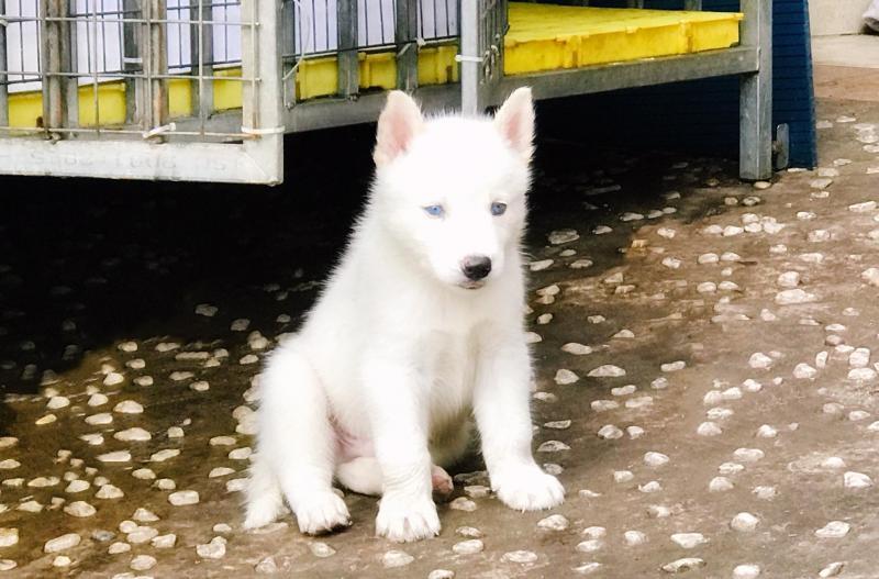 Bán Husky trắng 2 tháng tuổi