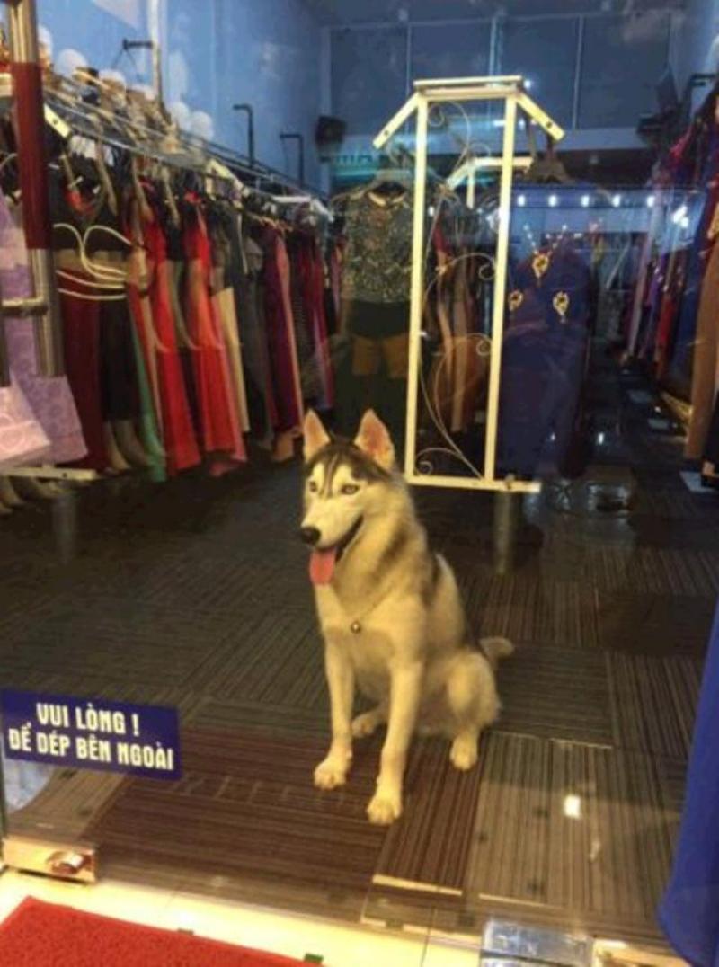 Chó Husky đực, 12 tháng tuổi, khoẻ mạnh, giao dịch tại nhà