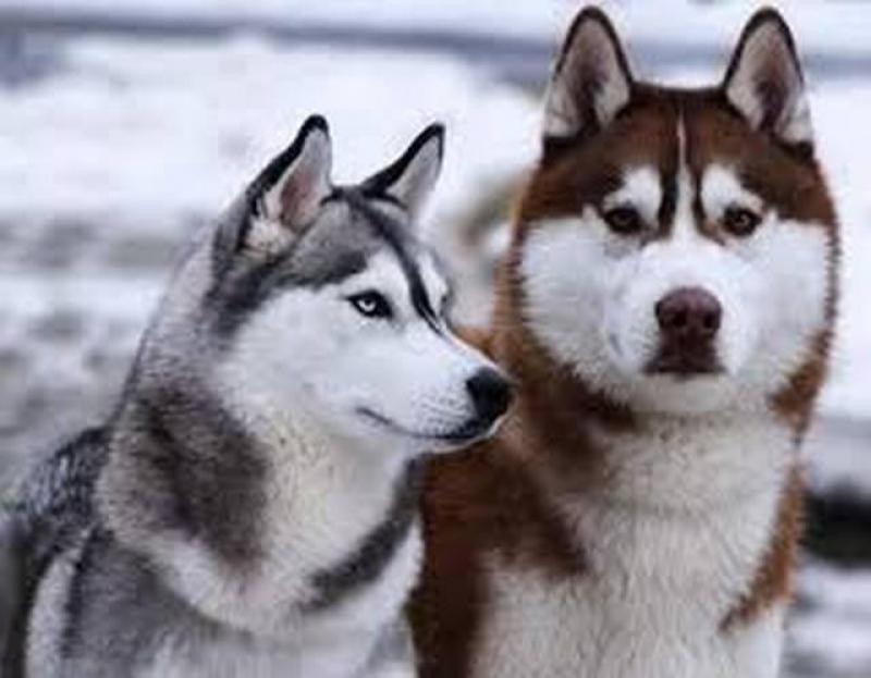 Cần bán chó HUSKY SIBERIAN