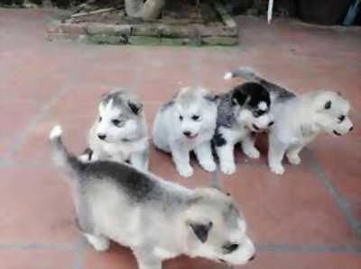 Cần bán chó Husky bầy Siberian có giấy VKA