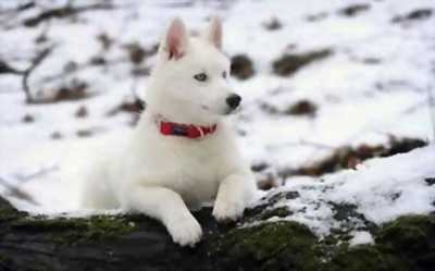 Cần bán chó Husky 4 tháng tuổi, bé ăn khoẻ, dễ nuôi, cực kì quấn chủ