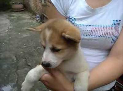 Cần bán chó husky giới tính đực hơn 1 năm tuổi