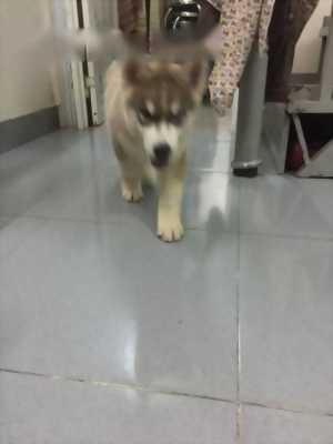 Bán bé Husky đực hai tháng tuổi