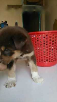 Bán chó Husky lai mắt xanh
