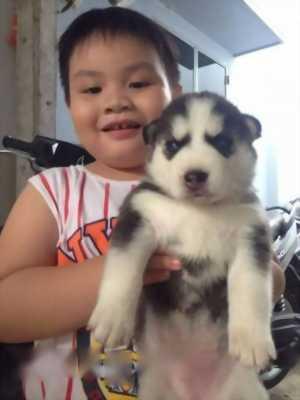 Cần bán Husky hơn một tháng tuổi