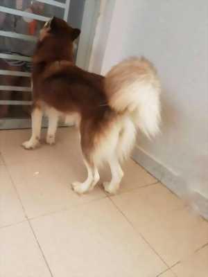Bán chó Husky cái mười một tháng nâu đỏ