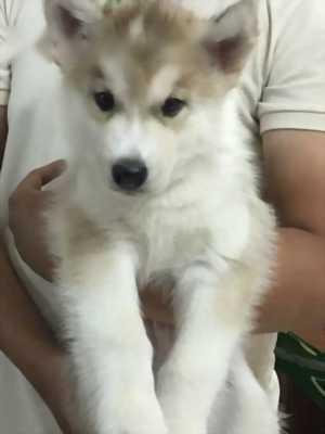Bán chó Husky thuần chủng 100% ko tật lỗi