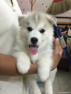 Cần bán chó Husky hai tháng thuần chủng