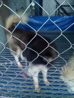 Cần bán chó Husky Siberian đực chín tháng tuổi