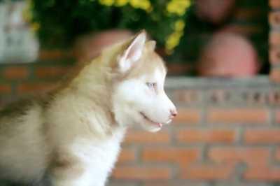 Cần bán con chó Husky