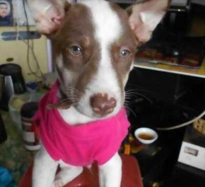 Bán em chó Husky lai mắt xanh