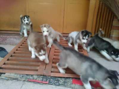 Bán bầy chó Husky cực đẹp,  mặt ngầu,  thuần chủng . . .