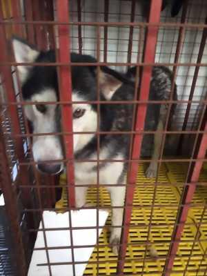 Cần bán chó Husky mười một tháng tơ