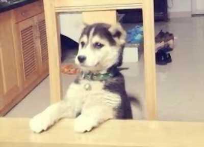 Cần bán con chó Husky lai