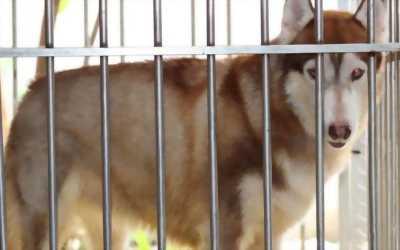 Tìm chủ cho bé Husky Siberian cái nâu đỏ mười hai tháng . . .