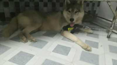 Bán chó Husky hoặc giao lưu rott con