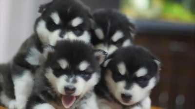 Mình cần bán chó Husky